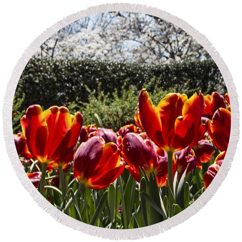 Tulips Round Beach Towel featuring the photograph Tulips At Dallas Arboretum V41 by Douglas Barnard