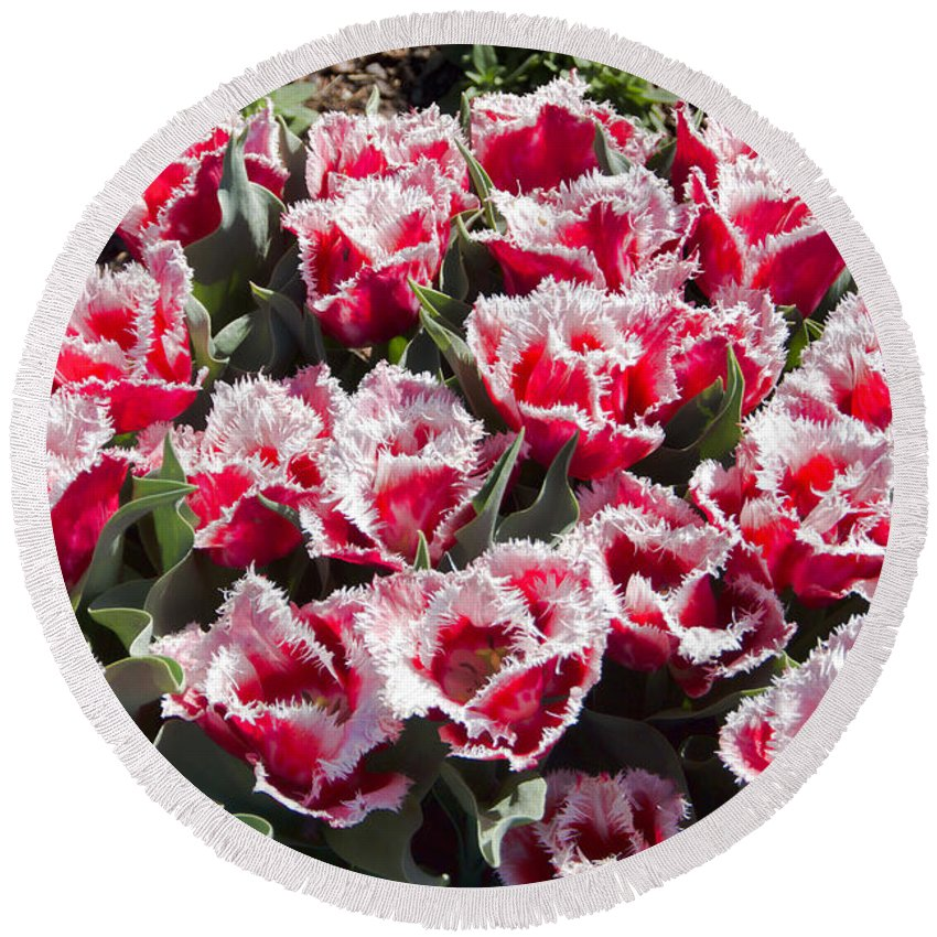 Tulips Round Beach Towel featuring the photograph Tulips At Dallas Arboretum V70 by Douglas Barnard