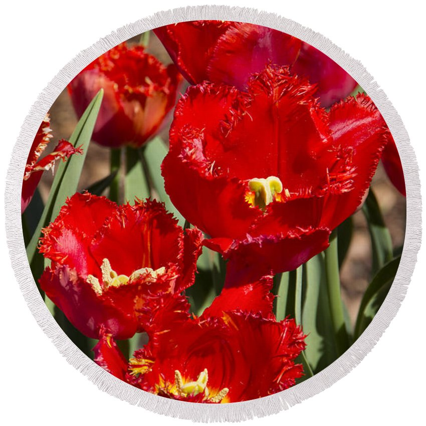 Tulips Round Beach Towel featuring the photograph Tulips At Dallas Arboretum V83 by Douglas Barnard