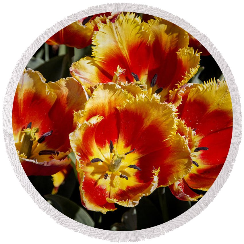 Tulips Round Beach Towel featuring the photograph Tulips At Dallas Arboretum V84 by Douglas Barnard