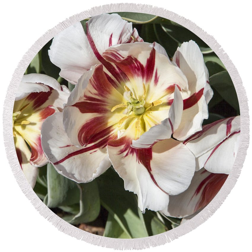 Tulips Round Beach Towel featuring the photograph Tulips At Dallas Arboretum V91 by Douglas Barnard