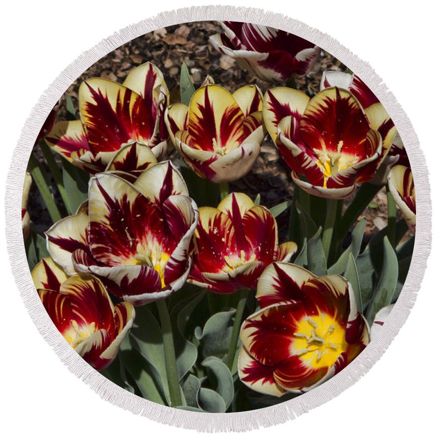 Tulips Round Beach Towel featuring the photograph Tulips At Dallas Arboretum V93 by Douglas Barnard
