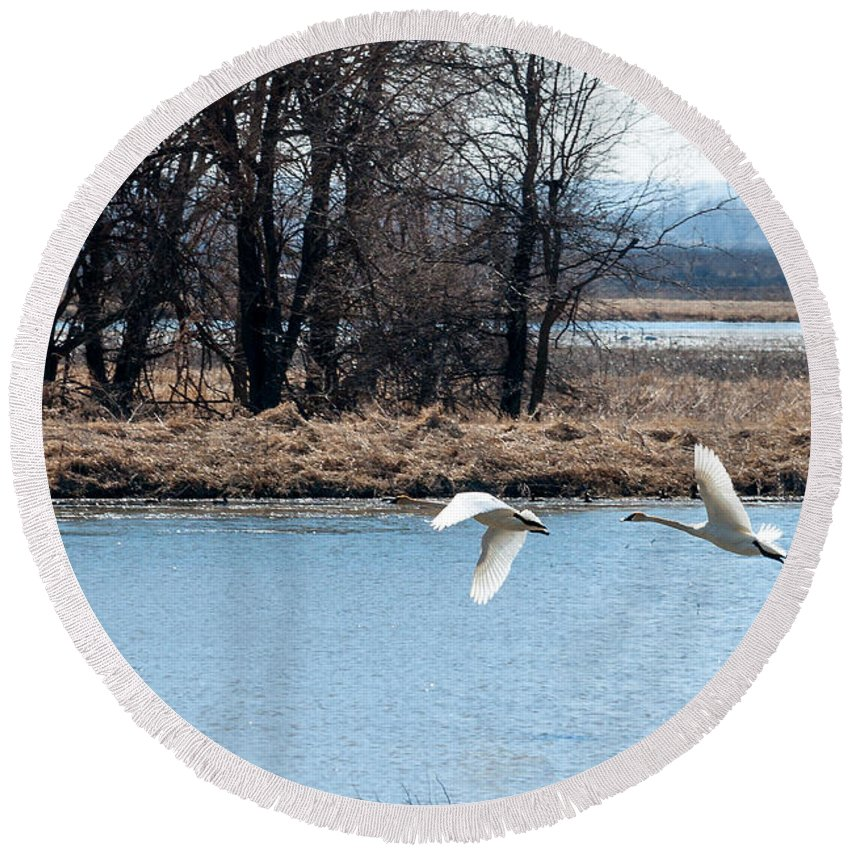 Swans Round Beach Towel featuring the photograph Tundra Swan Flight by Edward Peterson