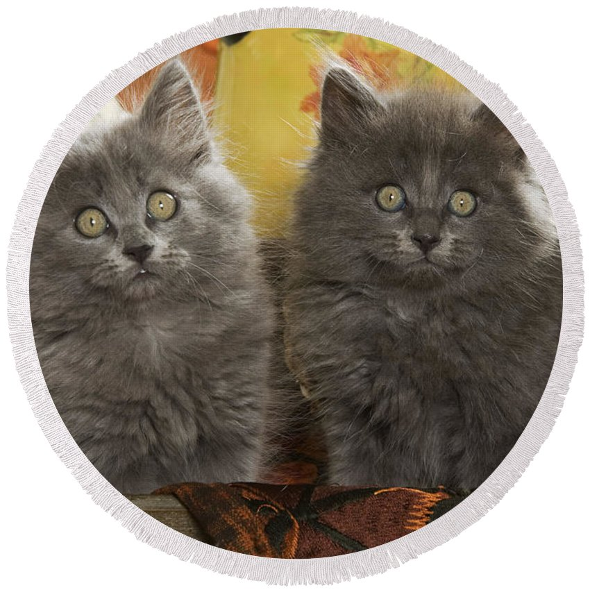 Cat Round Beach Towel featuring the photograph Two Fluffy Kittens by Jean-Michel Labat