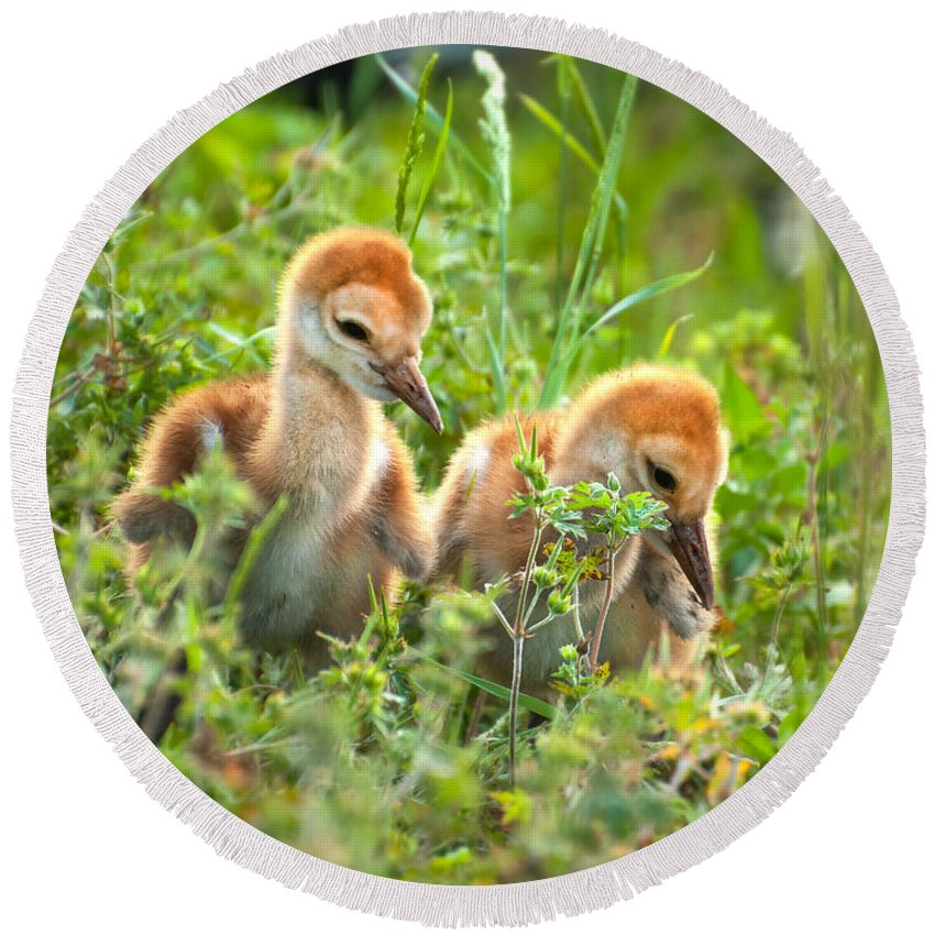 Sand Round Beach Towel featuring the photograph Two Sandhill Crane Chicks by Photos By Cassandra
