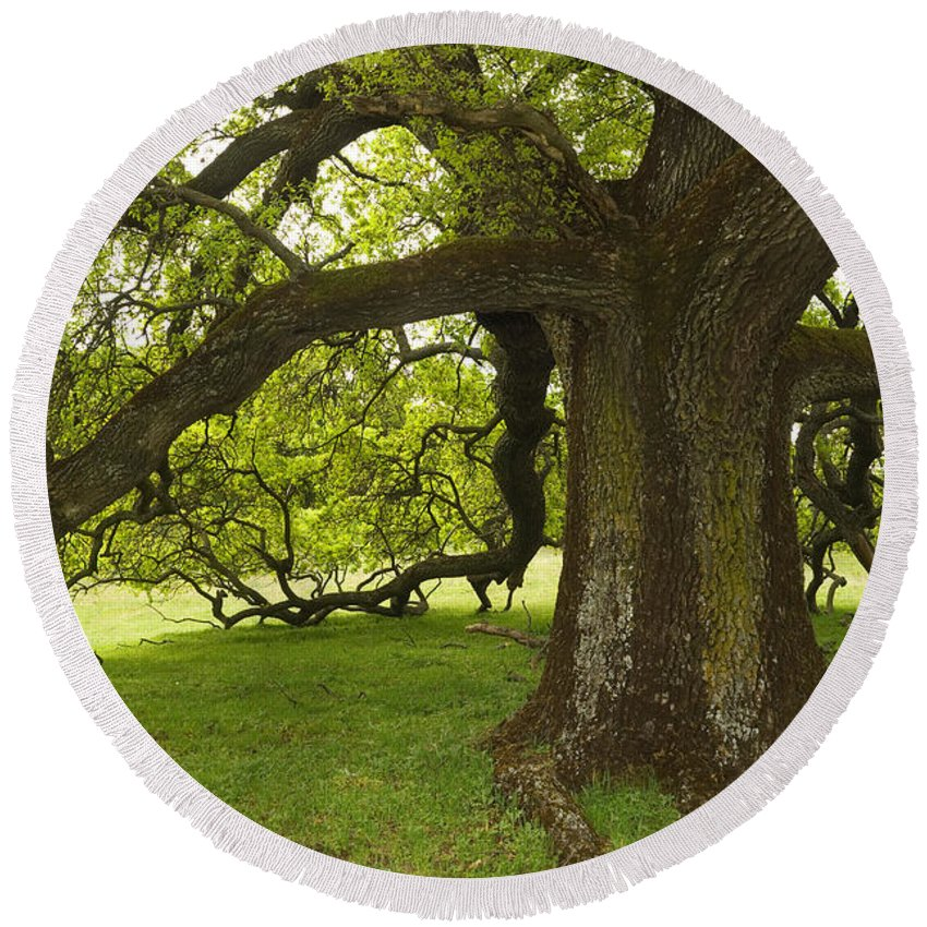 Plant Round Beach Towel featuring the photograph Valley Oak by Ron Sanford