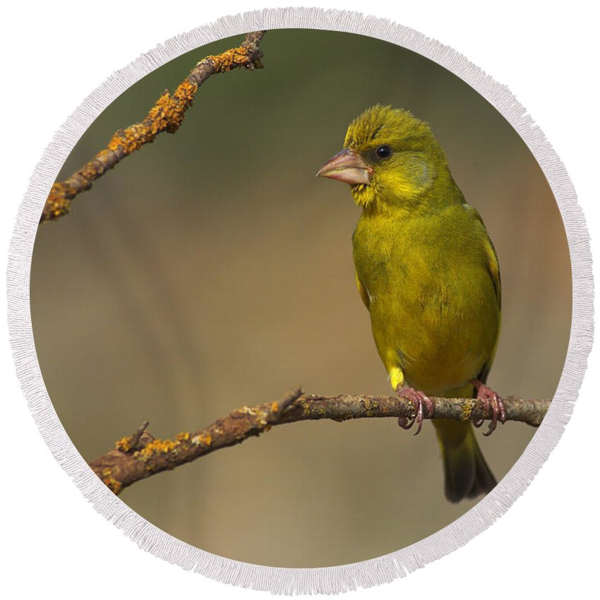 Greenfinch Round Beach Towel featuring the photograph Greenfinch by Guido Montanes Castillo