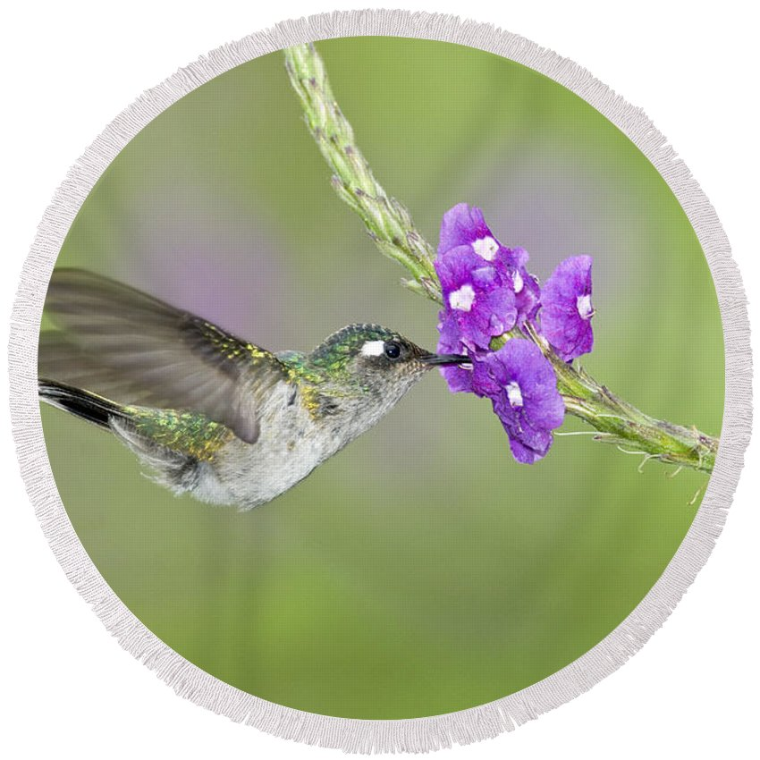 Animal Round Beach Towel featuring the photograph Violet-headed Hummingbird by Anthony Mercieca