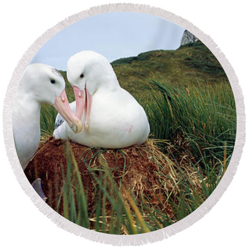 Photography Round Beach Towel featuring the photograph Wandering Albatross Diomedea Exulans by Animal Images