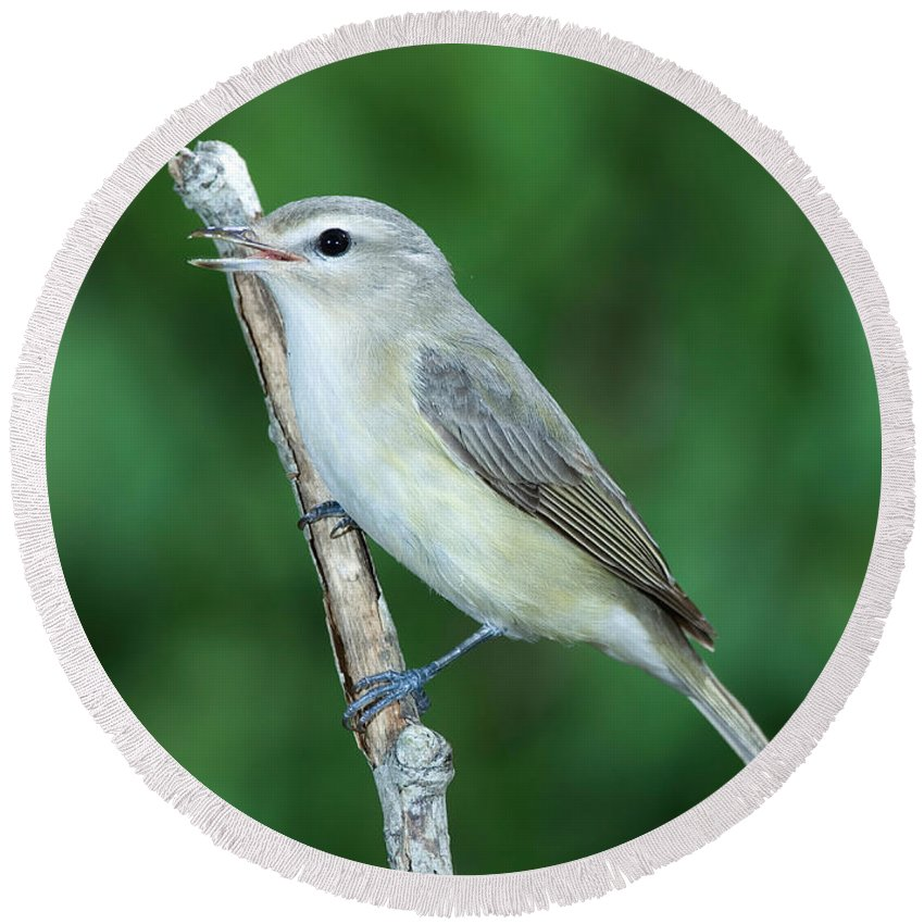 Fauna Round Beach Towel featuring the photograph Warbling Vireo Singing by Anthony Mercieca