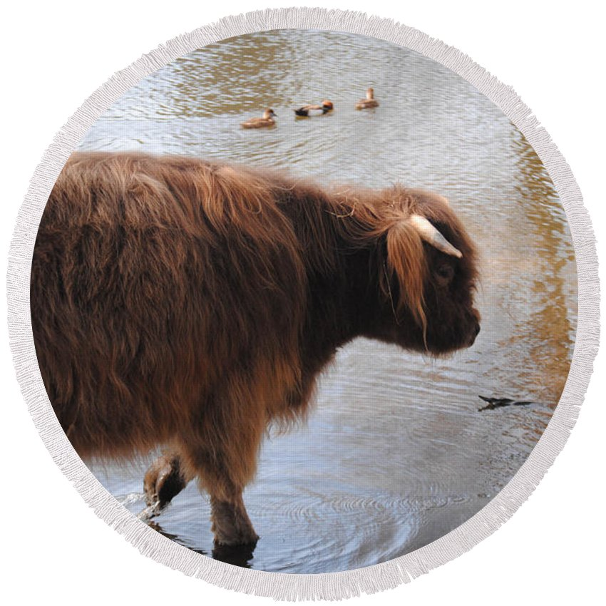 Water Buffalo Round Beach Towel featuring the photograph Water Buffalo by Jon Cody