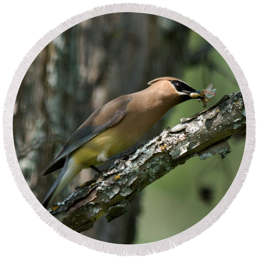 Cedar Waxwing Round Beach Towel featuring the photograph Waxwing Lunchtime by Cheryl Baxter