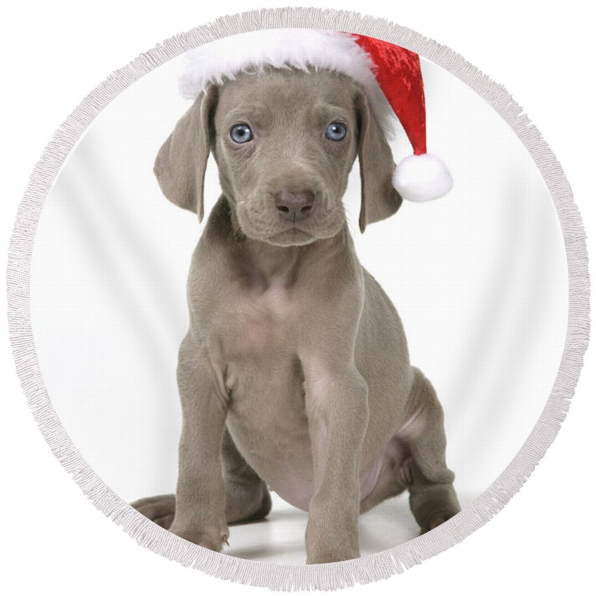 Dog Round Beach Towel Featuring The Photograph Weimaraner With Christmas Hat By John Daniels