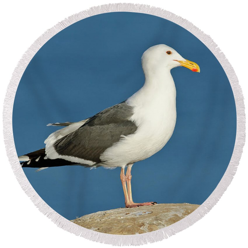 Western Gull Round Beach Towel featuring the photograph Western Gull by Anthony Mercieca