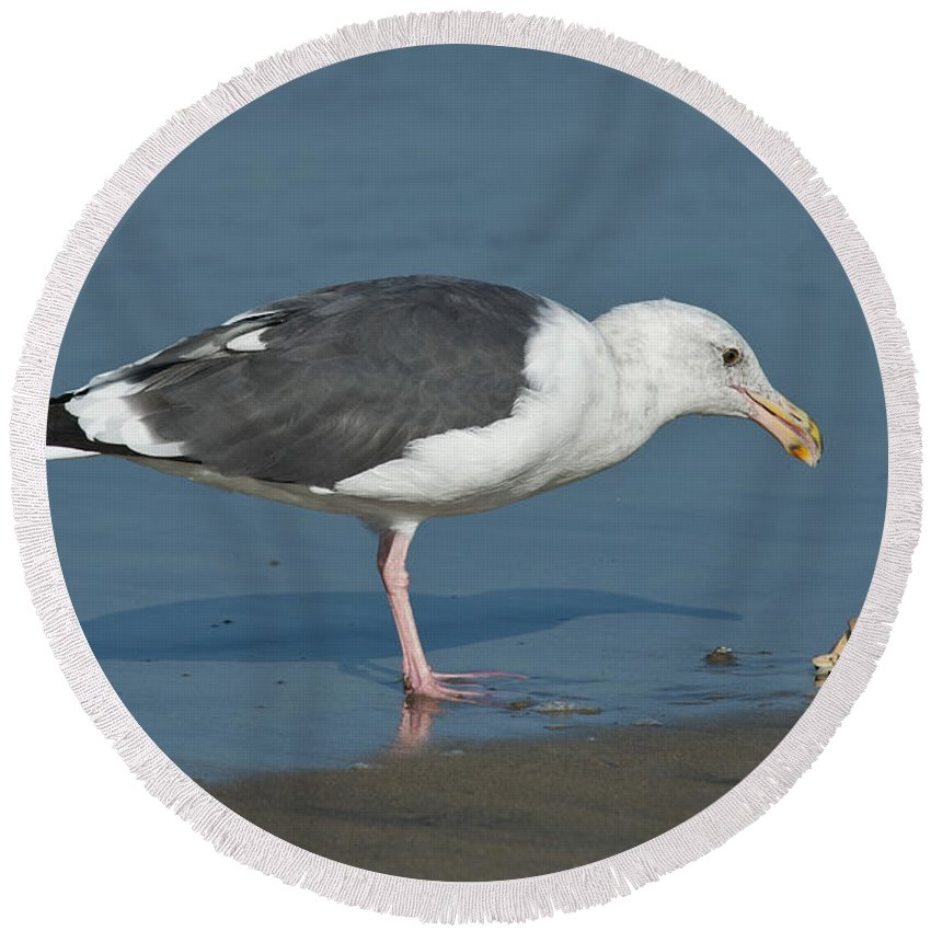 Western Gull Round Beach Towel featuring the photograph Western Gull Eating Clam by Anthony Mercieca