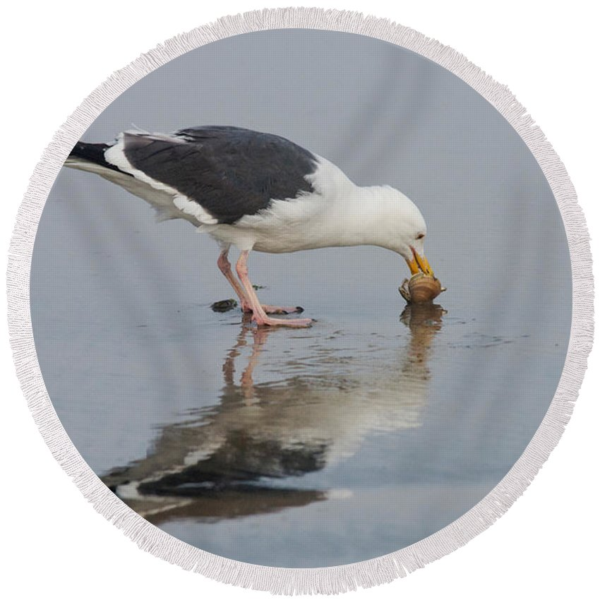 Western Gull Round Beach Towel featuring the photograph Western Gull Eats Clam by Anthony Mercieca
