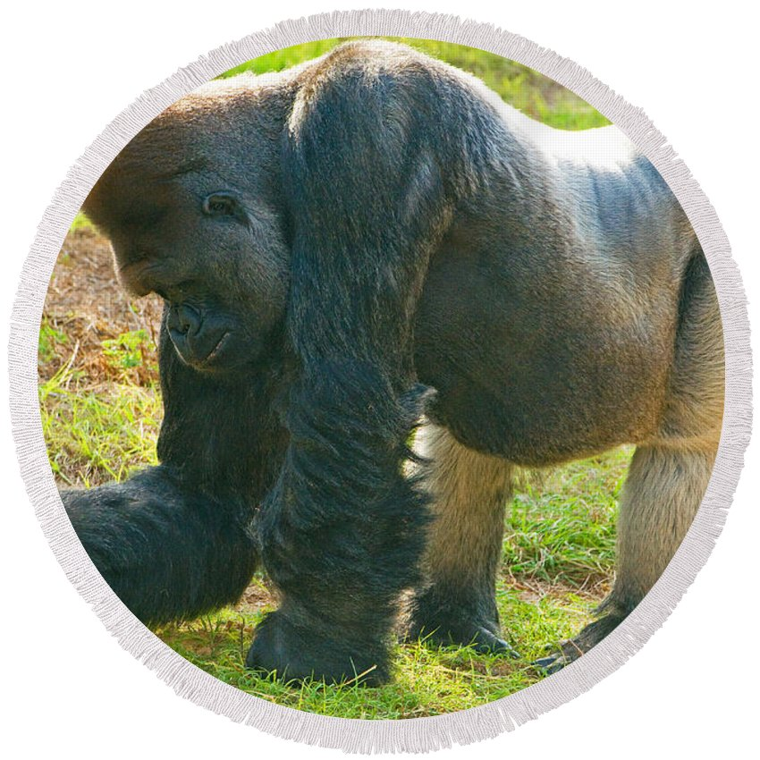 Nature Round Beach Towel featuring the photograph Western Lowland Gorilla Male by Millard H. Sharp
