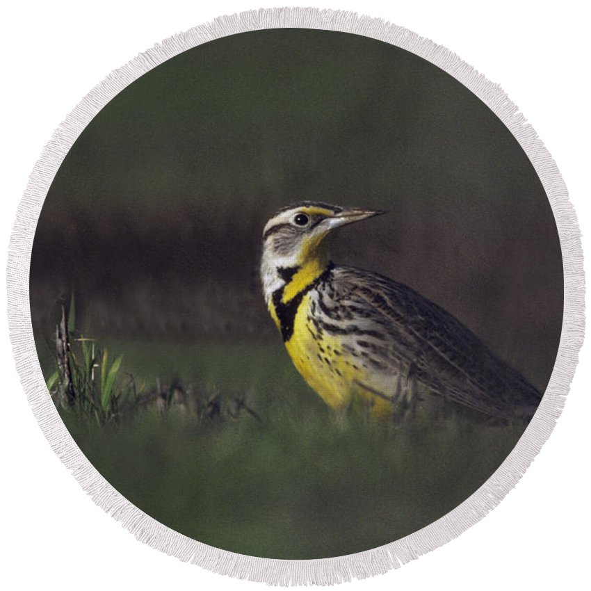 Western Meadowlark Round Beach Towel featuring the photograph Western Meadowlark by Ron Sanford