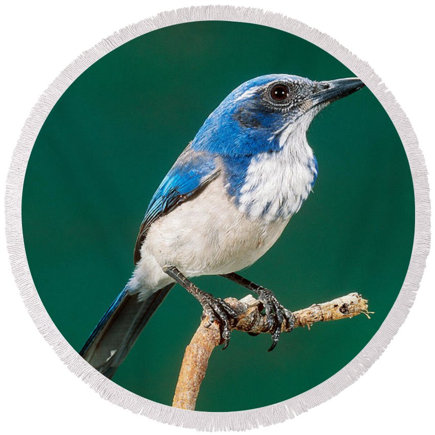 Western Scrub Jay Round Beach Towel featuring the photograph Western Scrub Jay by Anthony Mercieca