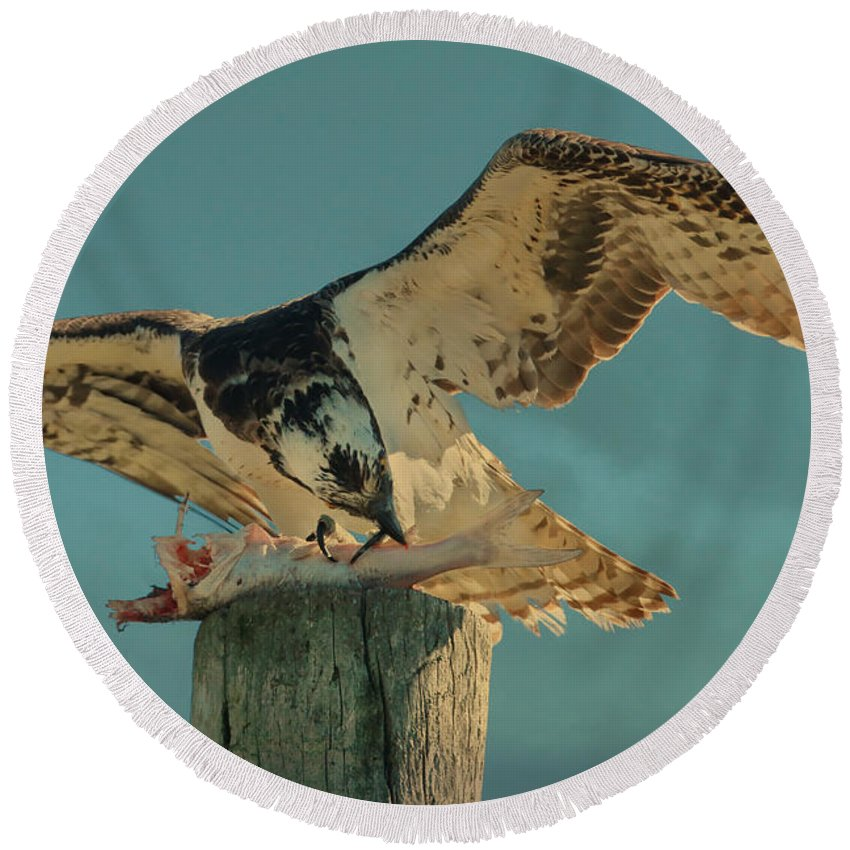 Osprey Round Beach Towel featuring the photograph What A Meal by Deborah Benoit