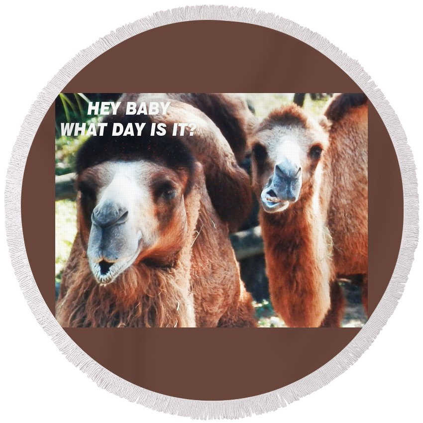 Two Brown Round Beach Towel featuring the photograph Camel What Day Is It? by Belinda Lee