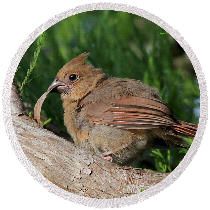 Northern Cardinal Round Beach Towel featuring the photograph What The Bark Is This by Meg Rousher