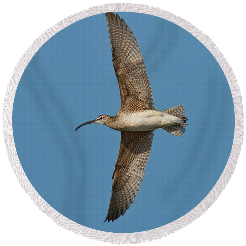 Fauna Round Beach Towel featuring the photograph Whimbrel In Flight by Anthony Mercieca