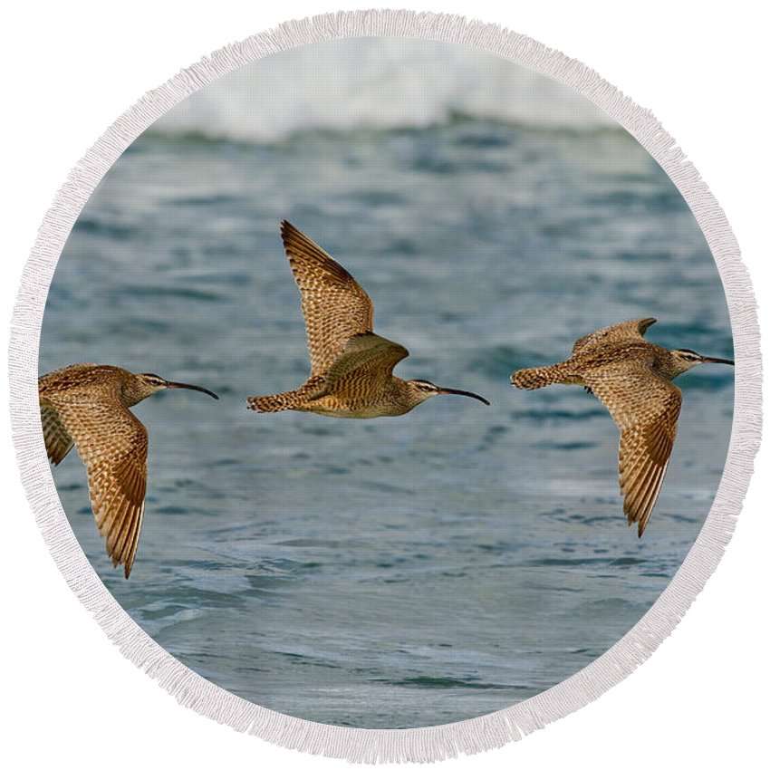 Fauna Round Beach Towel featuring the photograph Whimbrel Trio In Flight by Anthony Mercieca