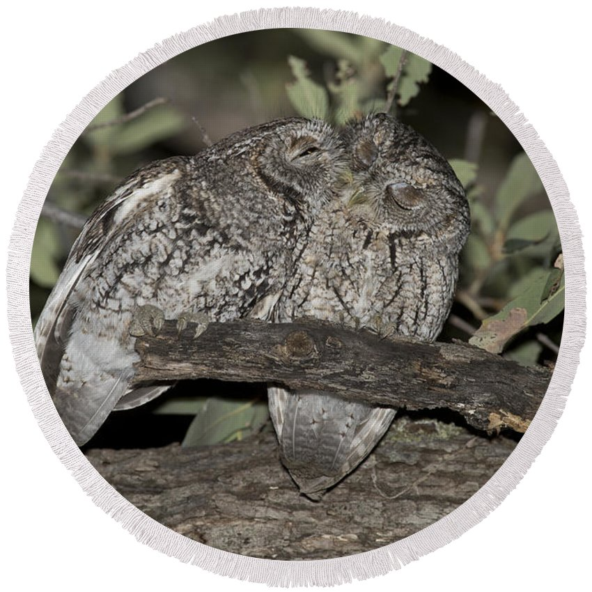 Whiskered Screech Owl Round Beach Towel featuring the photograph Whiskered Screech Owls by Anthony Mercieca