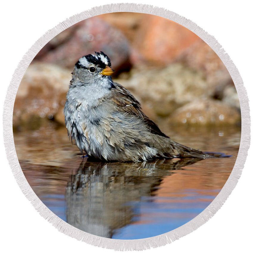 Fauna Round Beach Towel featuring the photograph White-crowned Sparrow Bathing by Anthony Mercieca
