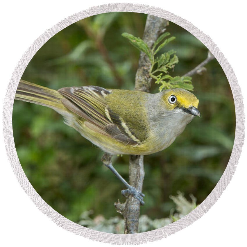 White-eyed Vireo Round Beach Towel featuring the photograph White-eyed Vireo by Anthony Mercieca