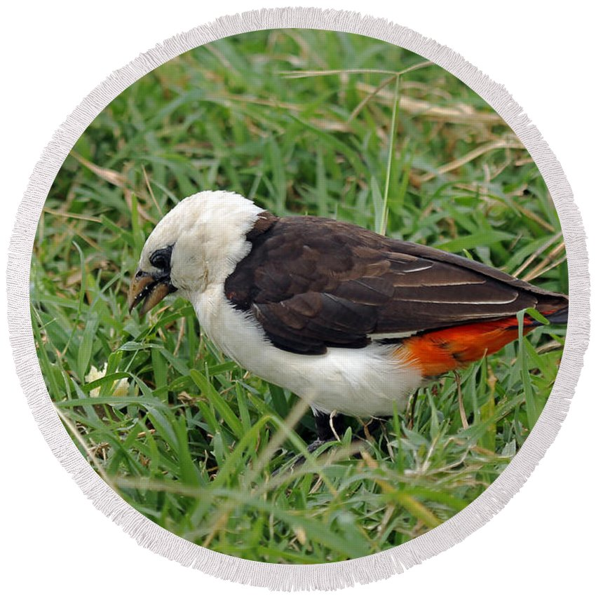Weaver Round Beach Towel featuring the photograph White Headed Buffalo Weaver by Tony Murtagh