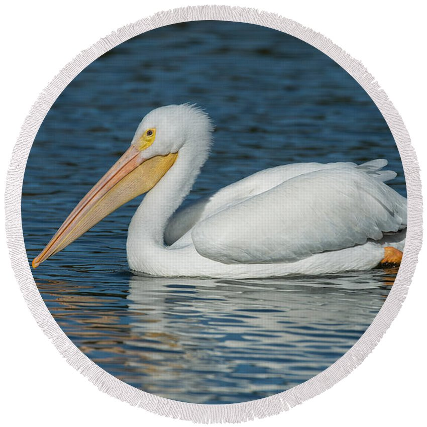 American White Pelican Round Beach Towel featuring the photograph White Pelican Swimming by Anthony Mercieca