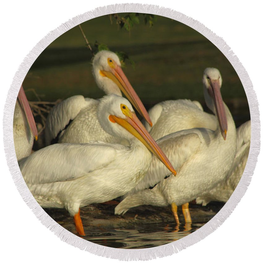 White Pelicans Round Beach Towel featuring the photograph White Pelicans by Diana Haronis