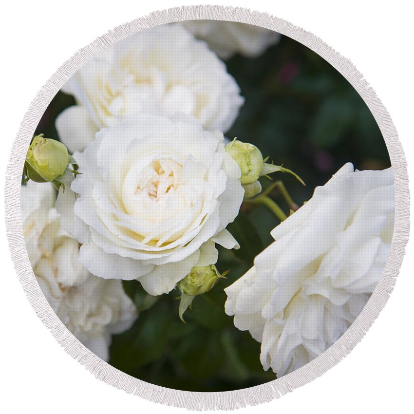 Bloom Round Beach Towel featuring the photograph White Roses by Brian Jannsen