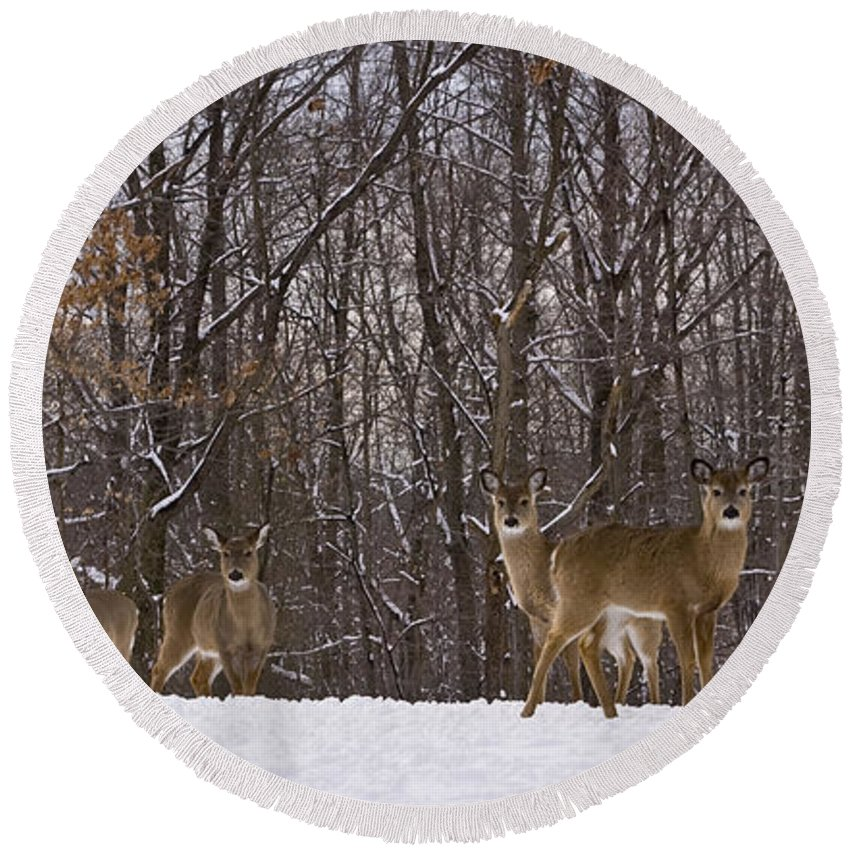 Deer Round Beach Towel featuring the photograph White Tailed Deer by Anthony Sacco