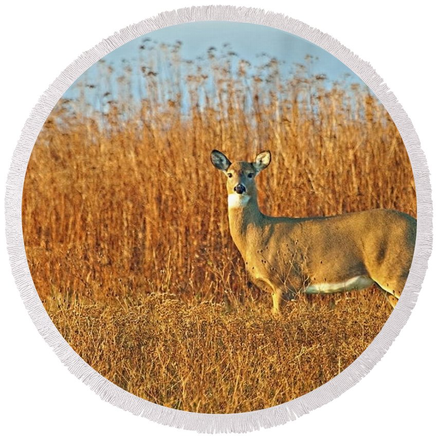 White Tailed Deer Round Beach Towel featuring the photograph White Tailed Deer In Morning Light by John Vose