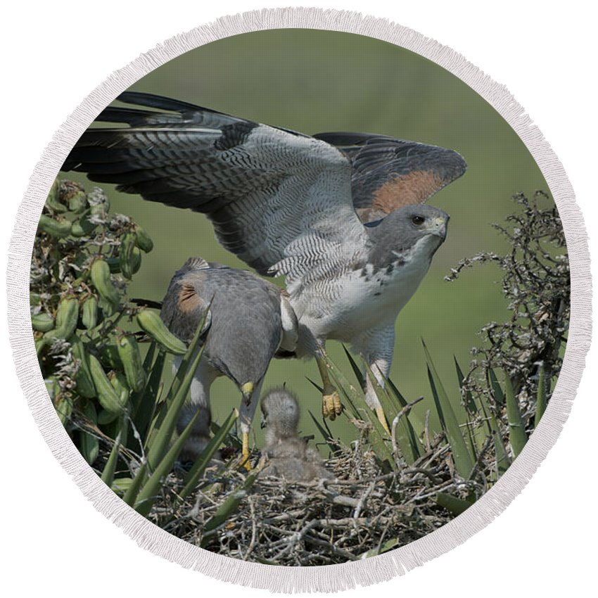 White-tailed Hawk Round Beach Towel featuring the photograph White-tailed Hawks At Nest by Anthony Mercieca
