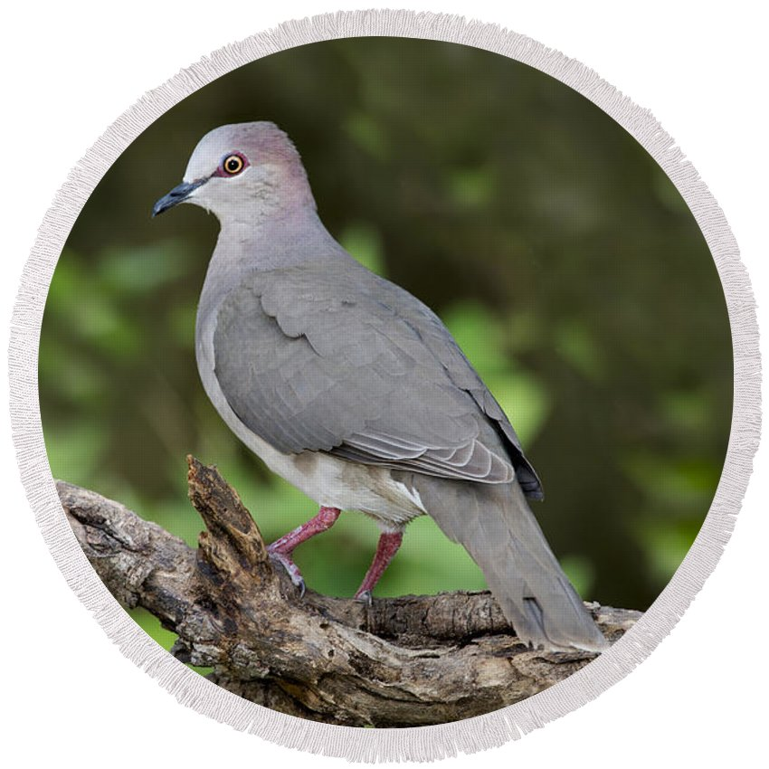 White-tipped Dove Round Beach Towel featuring the photograph White-tipped Dove by Anthony Mercieca