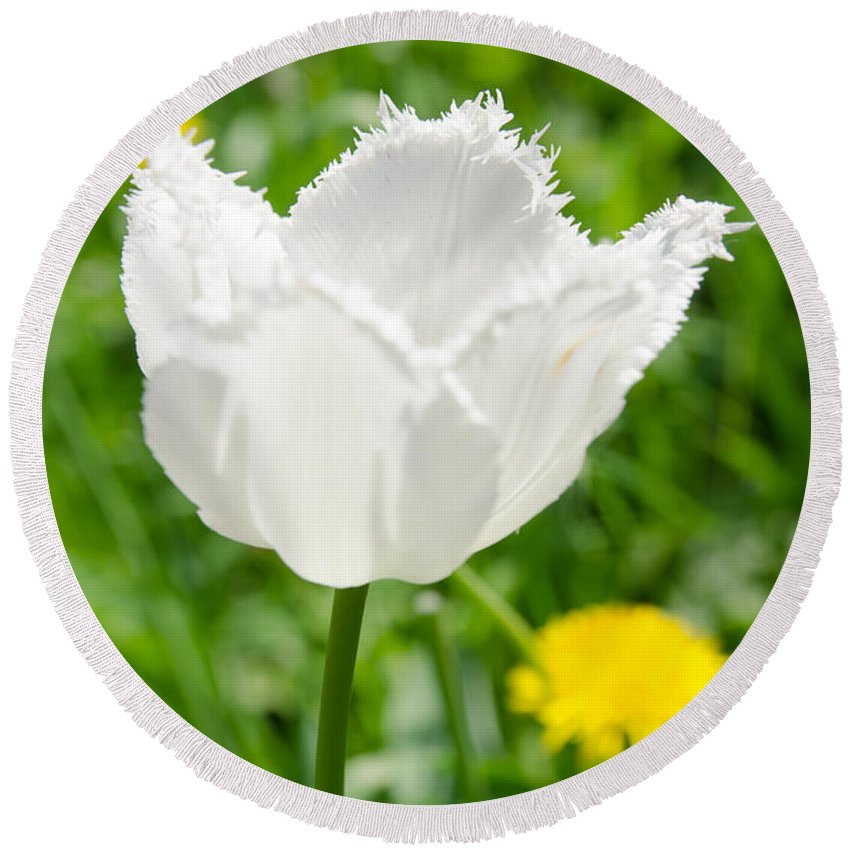 Backlit Round Beach Towel featuring the photograph White Tulip On The Green Background by Michael Goyberg