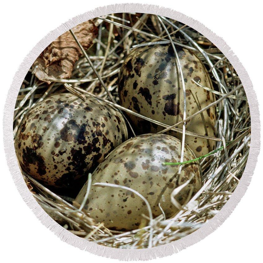 Fauna Round Beach Towel featuring the photograph Willet Catoptrophorus Semipalmatus Eggs by Millard H. Sharp