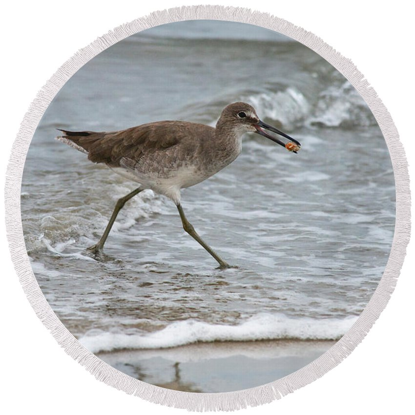 Willet Round Beach Towel featuring the photograph Willet With Mole Crab by Anthony Mercieca