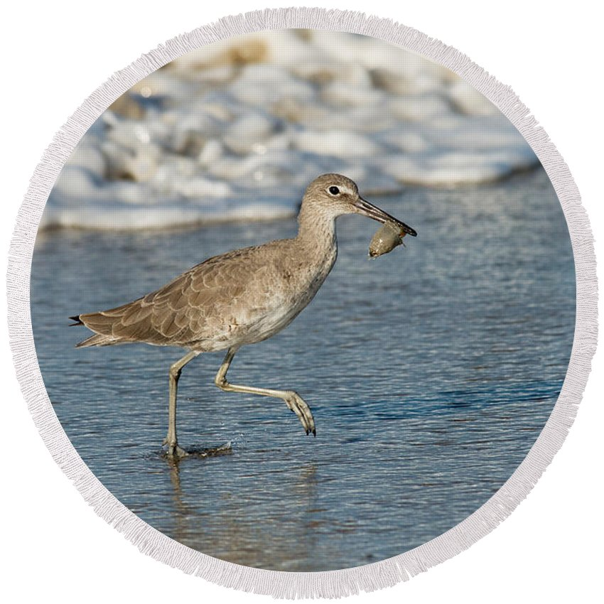 Willet Round Beach Towel featuring the photograph Willet With Sand Crab by Anthony Mercieca