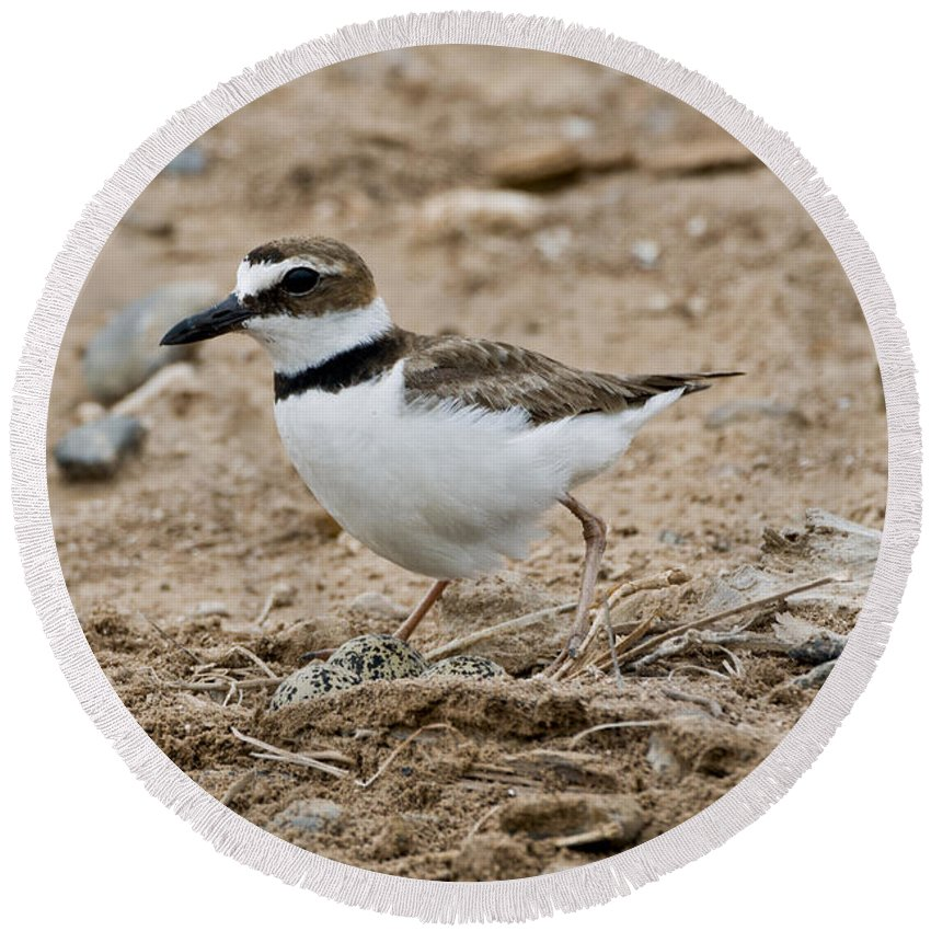 Wilson's Plover Round Beach Towel featuring the photograph Wilsons Plover At Nest by Anthony Mercieca