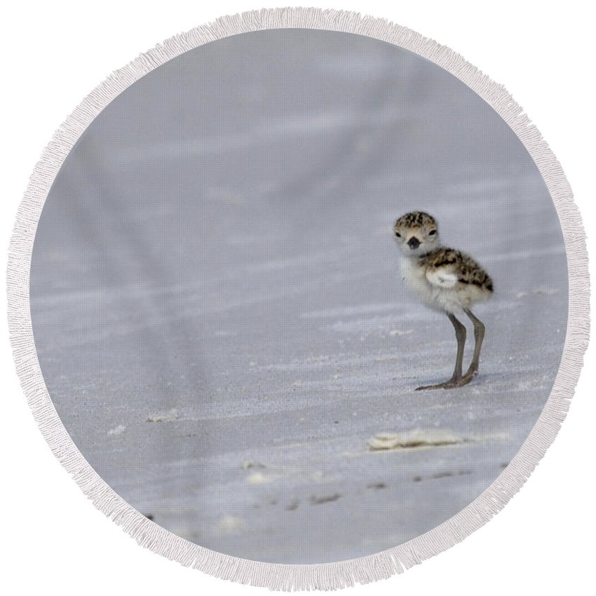 Wilson's Plover Round Beach Towel featuring the photograph Wilson's Plover Chick Photo by Meg Rousher