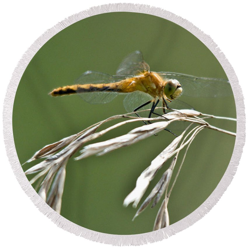 Common Red Darter Round Beach Towel featuring the photograph Winged Beauty by Cheryl Baxter