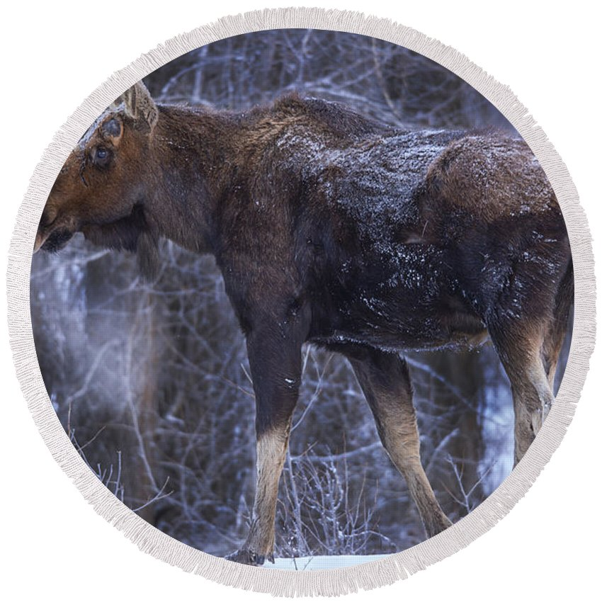 Moose Round Beach Towel featuring the photograph Winters Chill by Jeff Shumaker