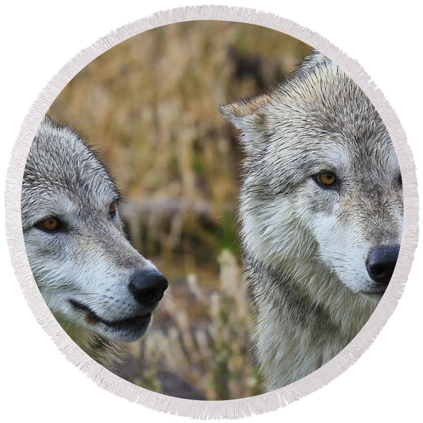 Wolves Round Beach Towel featuring the photograph Wolf Glare by Athena Mckinzie