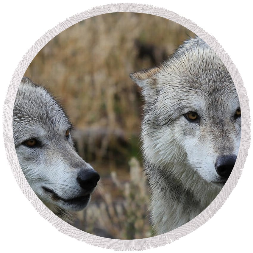 Wolves Round Beach Towel featuring the photograph Wolf Glare II by Athena Mckinzie