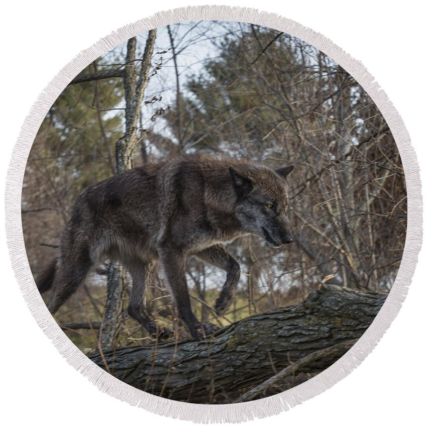 Animal Round Beach Towel featuring the photograph Wolf Walk by Jack R Perry